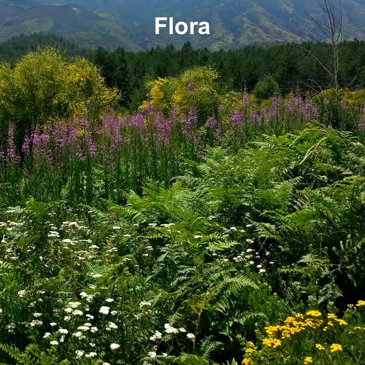 Flora dell'Etna